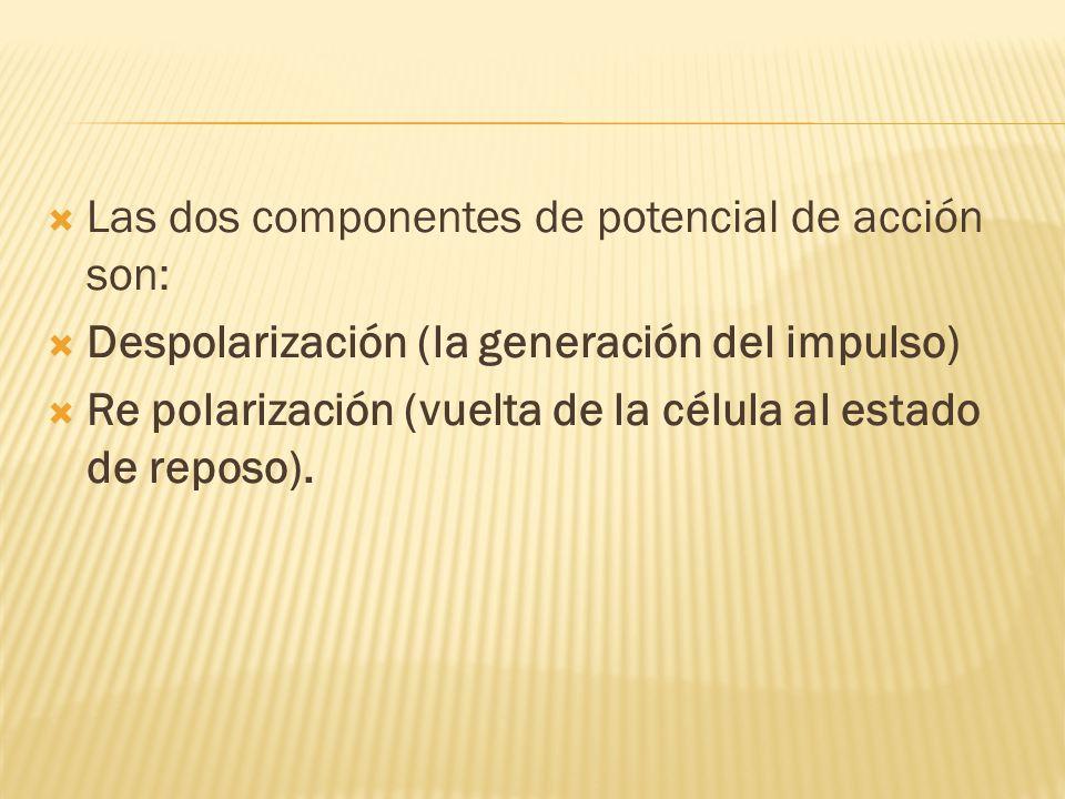 Las dos componentes de potencial de acción son: