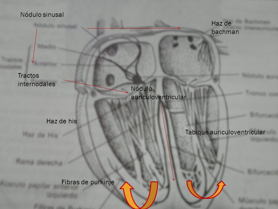 Nódulo sinusal Haz de bachman. Tractos internodales. Nódulo auriculoventricular. Haz de his. Tabique auriculoventricular.