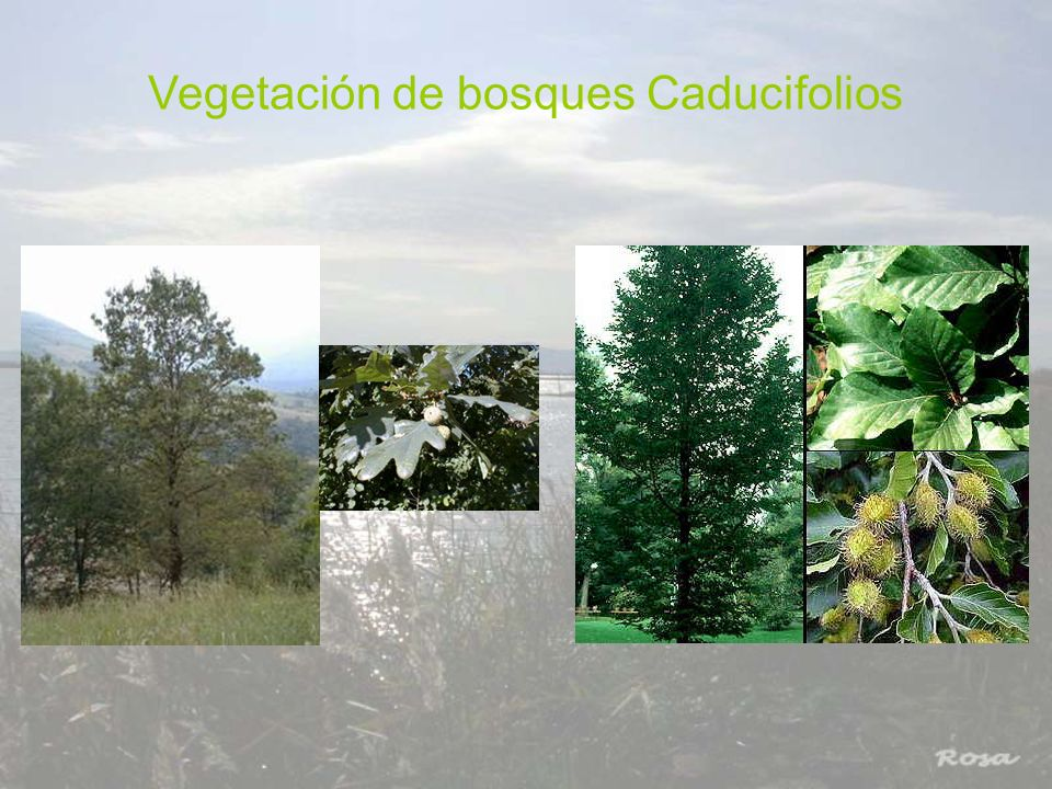 Vegetación de bosques Caducifolios