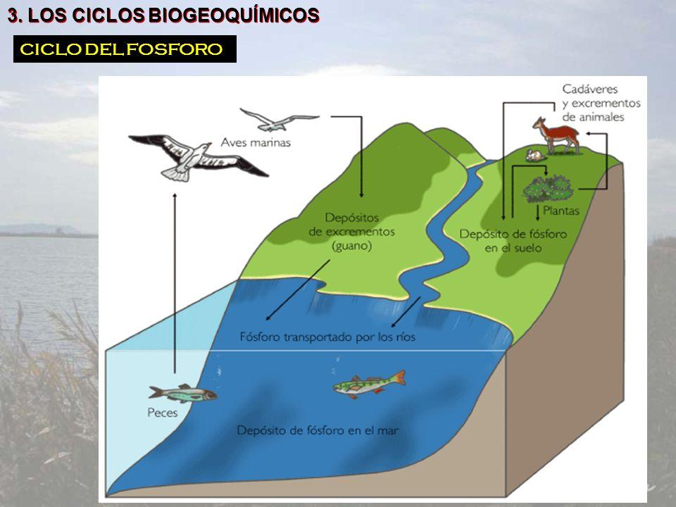 3. LOS CICLOS BIOGEOQUÍMICOS