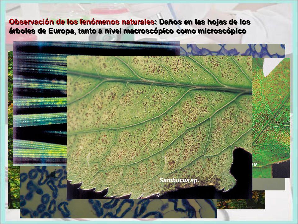 Observación de los fenómenos naturales: Daños en las hojas de los árboles de Europa, tanto a nivel macroscópico como microscópico