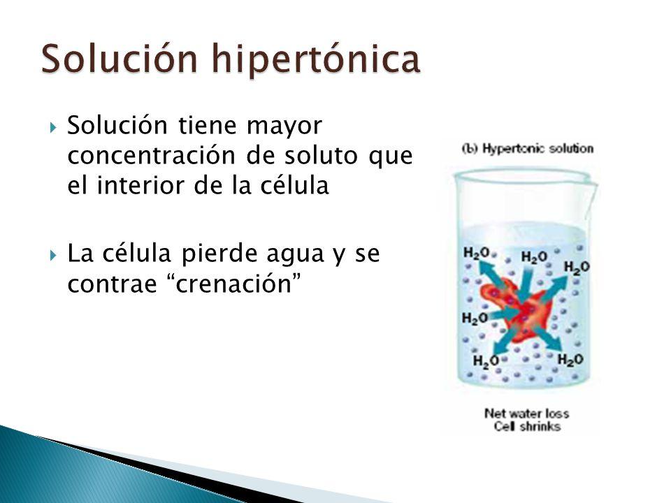 Solución hipertónica Solución tiene mayor concentración de soluto que el interior de la célula.