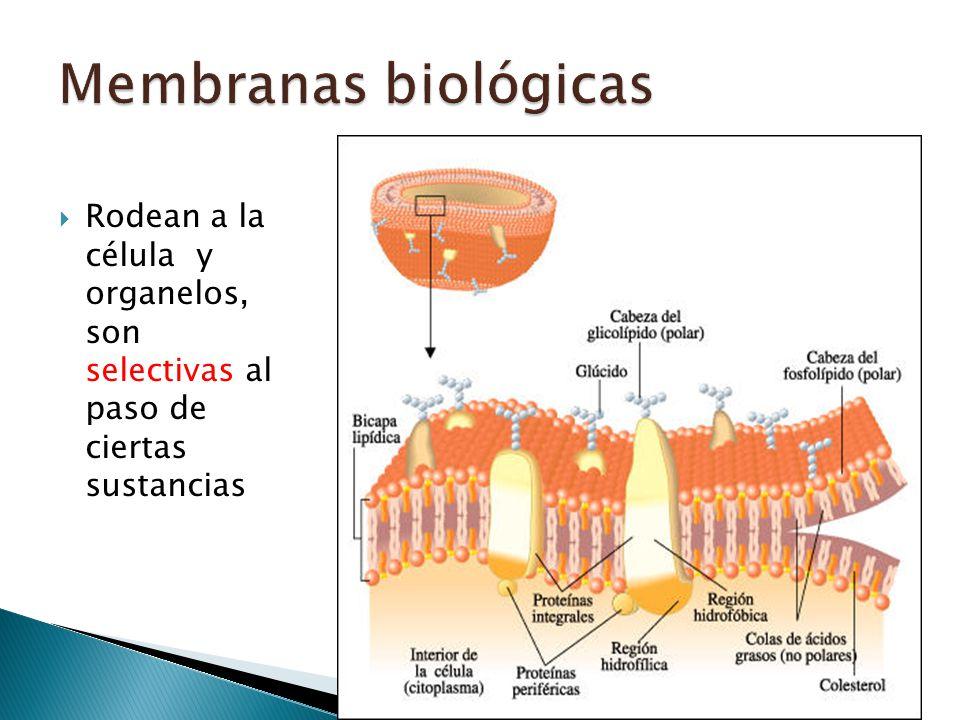 Membranas biológicas Rodean a la célula y organelos, son selectivas al paso de ciertas sustancias.