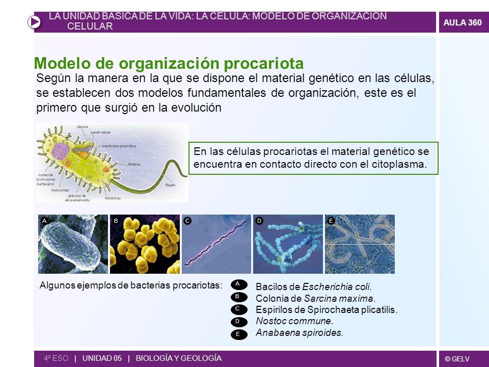 Modelo de organización procariota