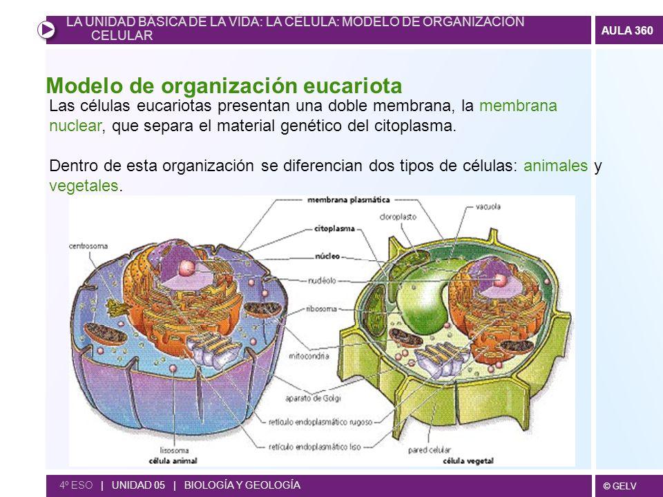 Modelo de organización eucariota
