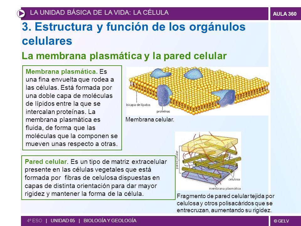 3. Estructura y función de los orgánulos celulares