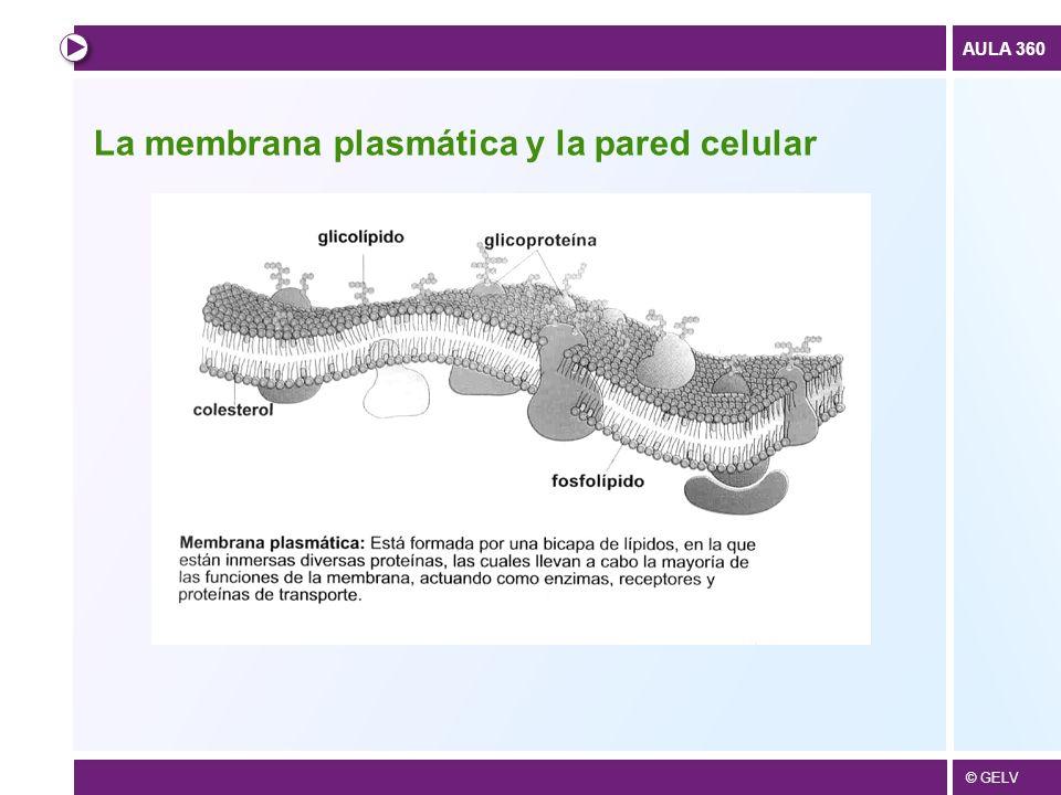 La membrana plasmática y la pared celular