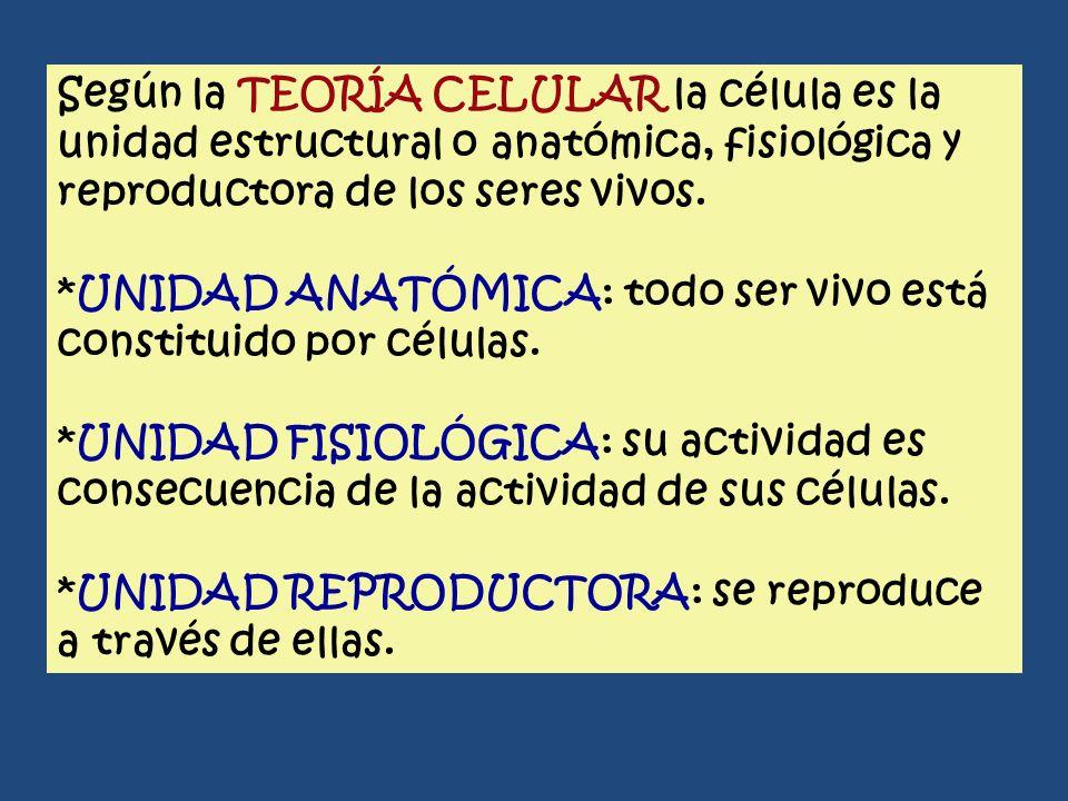 Según la TEORÍA CELULAR la célula es la unidad estructural o anatómica, fisiológica y reproductora de los seres vivos.