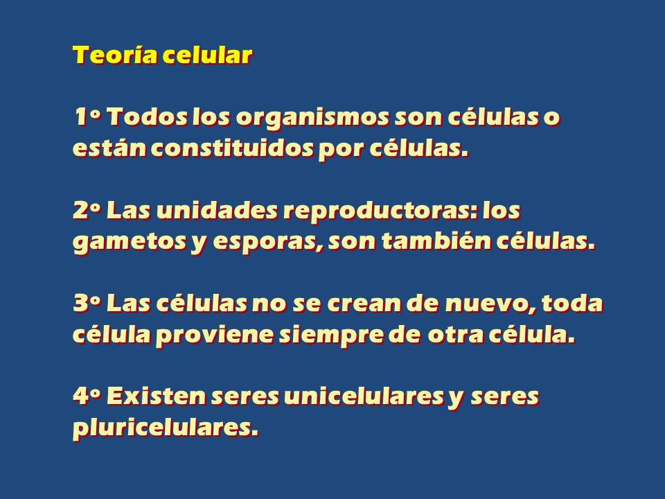 Teoría celular 1º Todos los organismos son células o están constituidos por células.