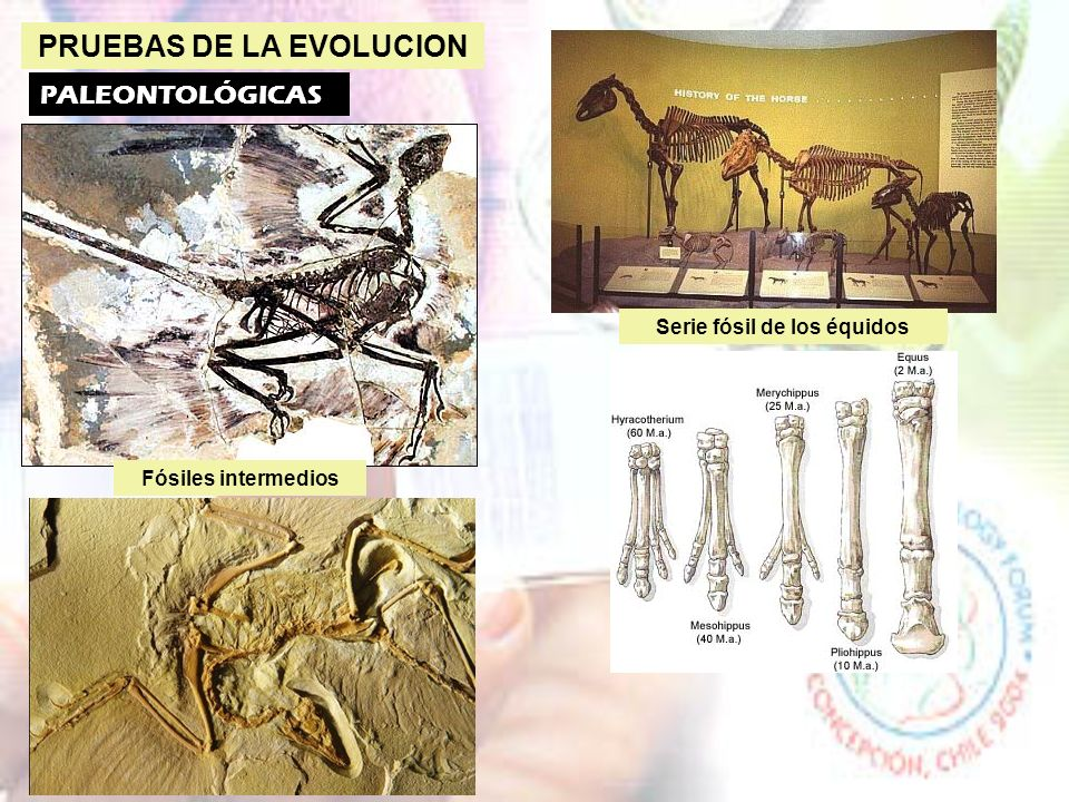 PRUEBAS DE LA EVOLUCION Serie fósil de los équidos
