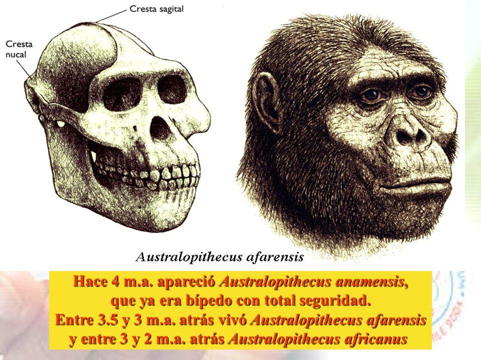 Hace 4 m.a. apareció Australopithecus anamensis,