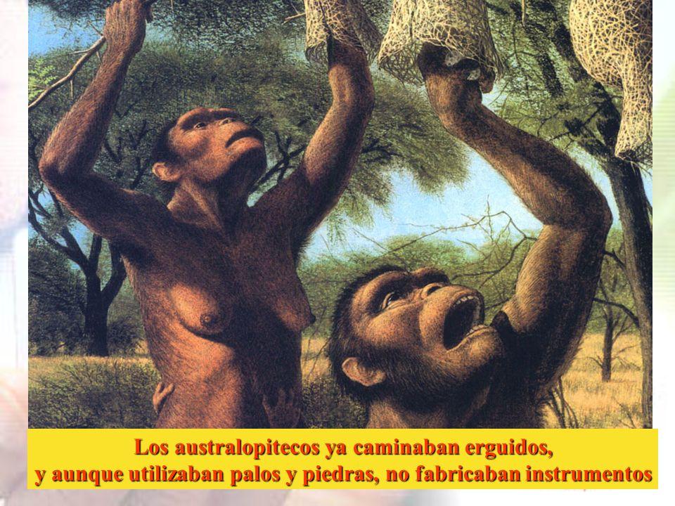 Los australopitecos ya caminaban erguidos,