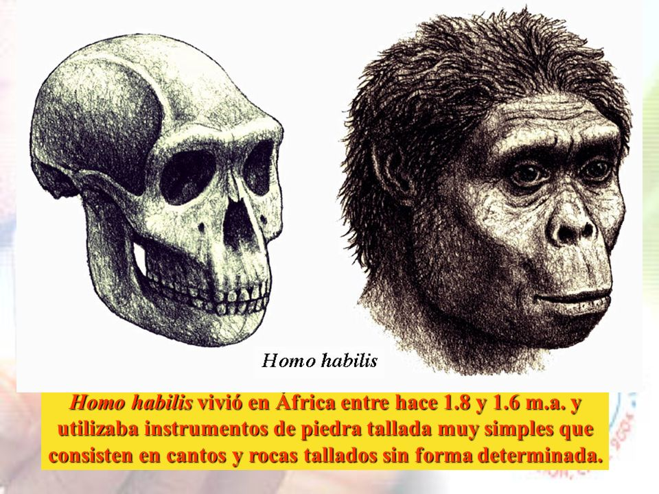 Homo habilis vivió en África entre hace 1.8 y 1.6 m.a. y