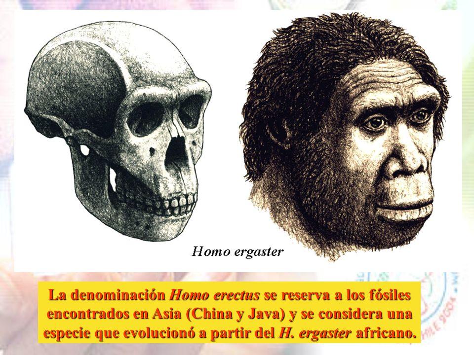La denominación Homo erectus se reserva a los fósiles