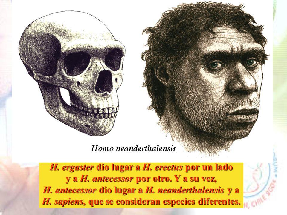 H. ergaster dio lugar a H. erectus por un lado