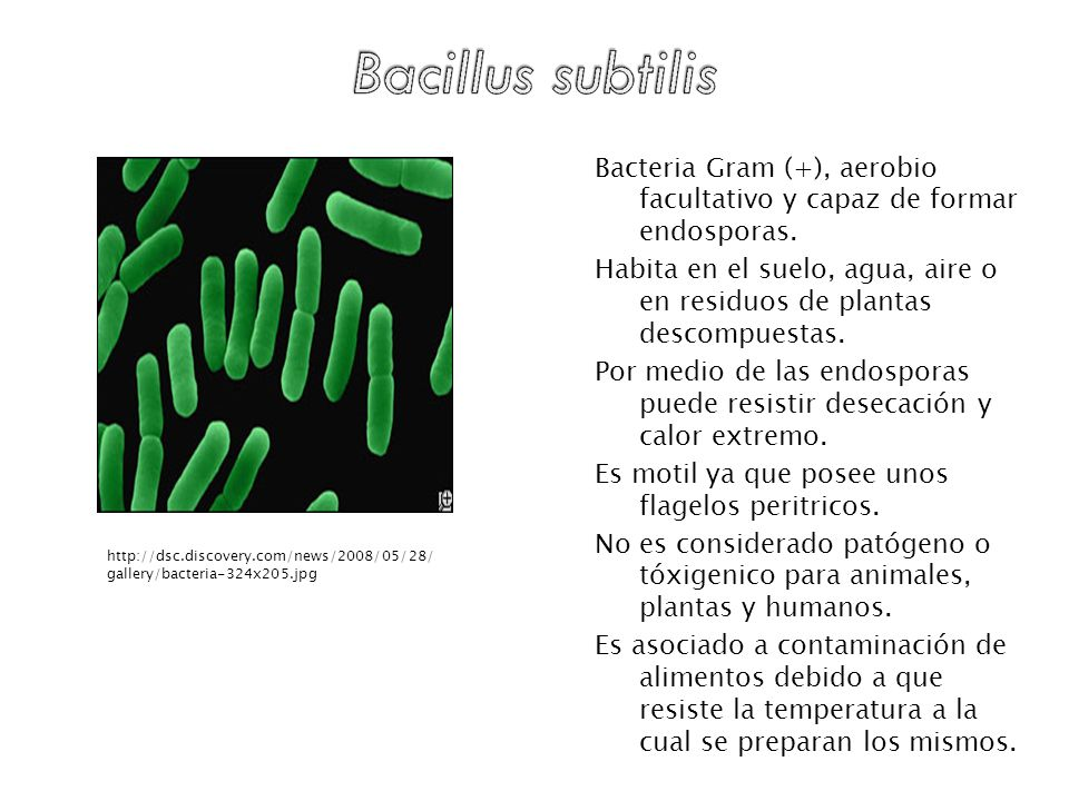 Bacteria Gram (+), aerobio facultativo y capaz de formar endosporas.
