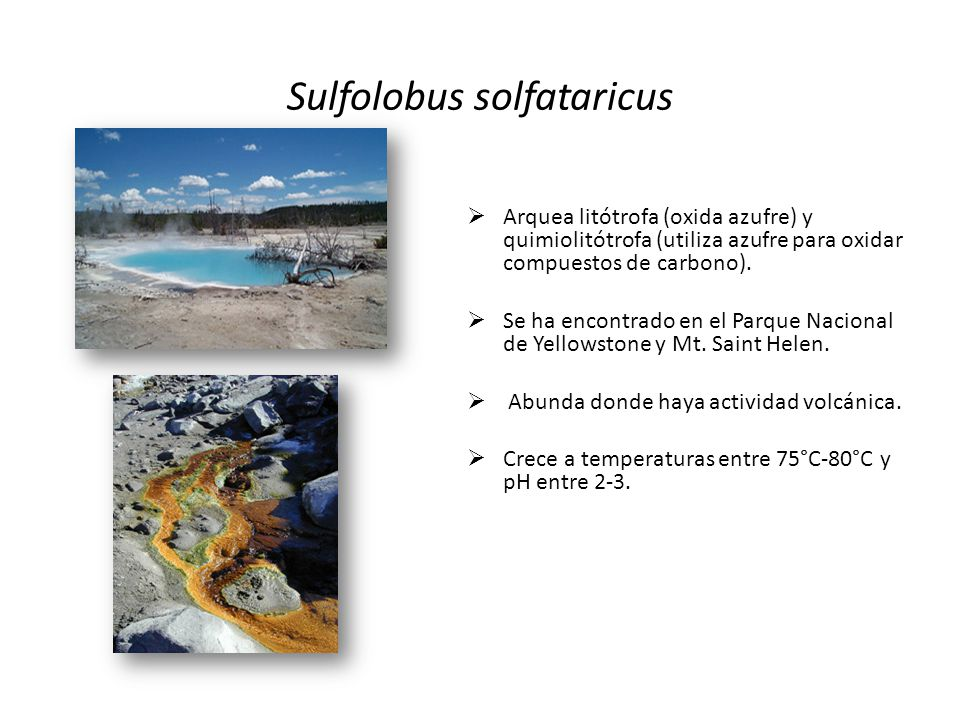 Sulfolobus solfataricus