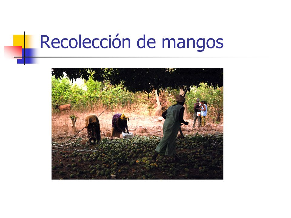 Recolección de mangos