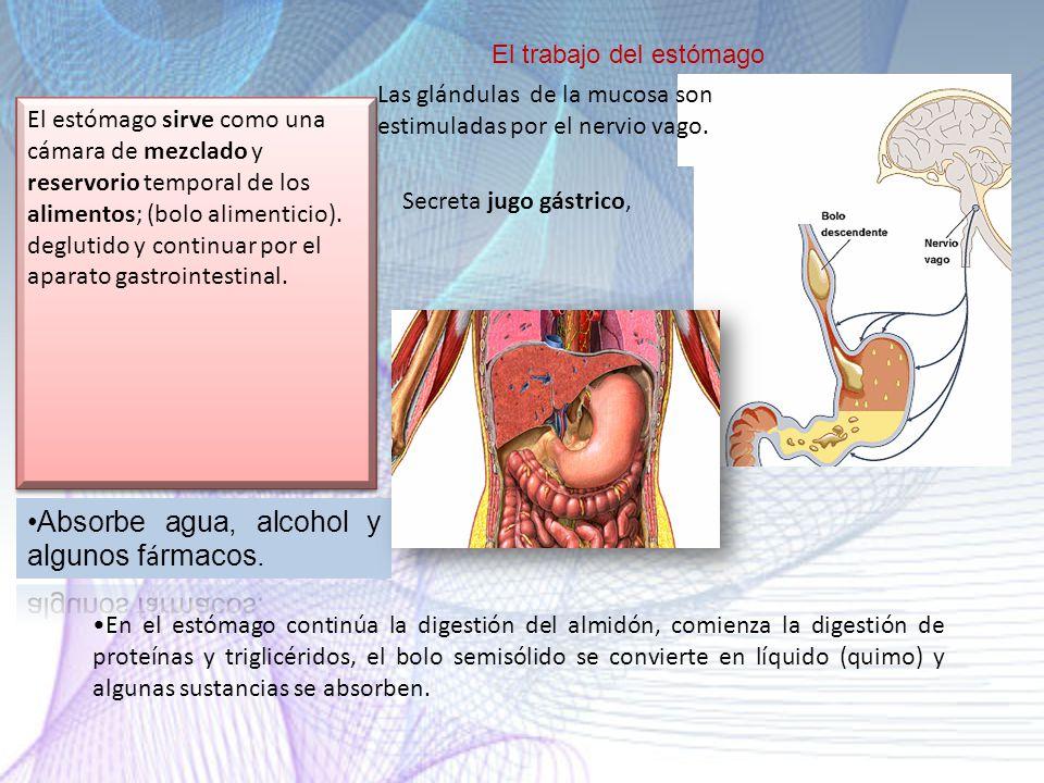 Absorbe agua, alcohol y algunos fármacos.
