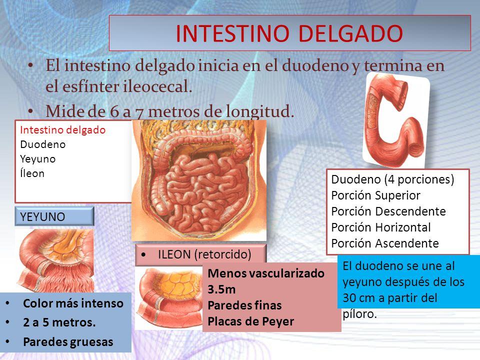 INTESTINO DELGADO El intestino delgado inicia en el duodeno y termina en el esfínter ileocecal. Mide de 6 a 7 metros de longitud.