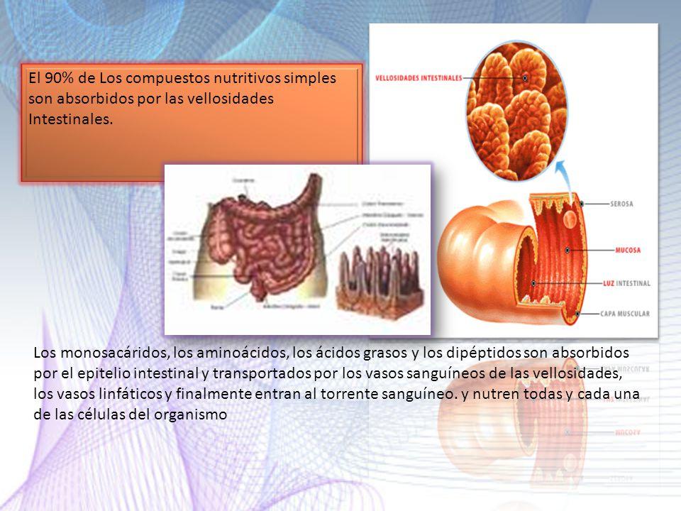 El 90% de Los compuestos nutritivos simples son absorbidos por las vellosidades