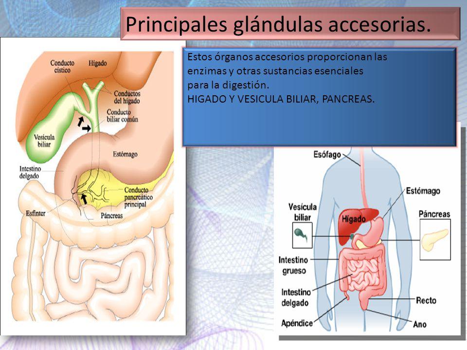 Principales glándulas accesorias.