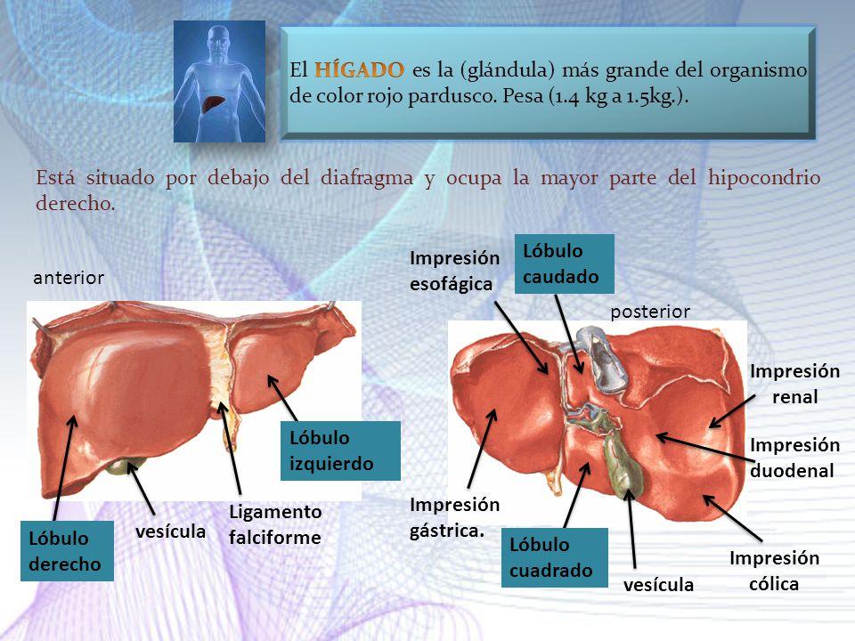 El HÍGADO es la (glándula) más grande del organismo de color rojo pardusco. Pesa (1.4 kg a 1.5kg.).