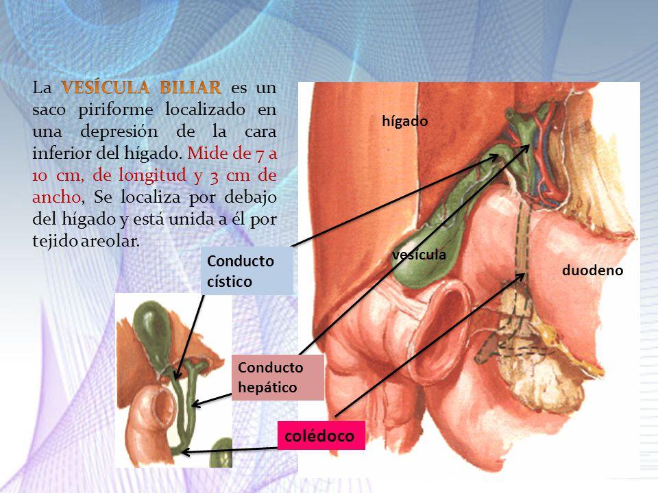 La VESÍCULA BILIAR es un saco piriforme localizado en una depresión de la cara inferior del hígado. Mide de 7 a 10 cm, de longitud y 3 cm de ancho, Se localiza por debajo del hígado y está unida a él por tejido areolar.
