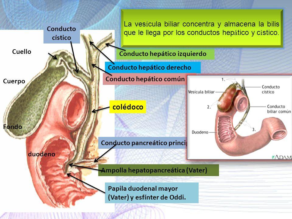 La vesícula biliar concentra y almacena la bilis que le llega por los conductos hepático y cístico.