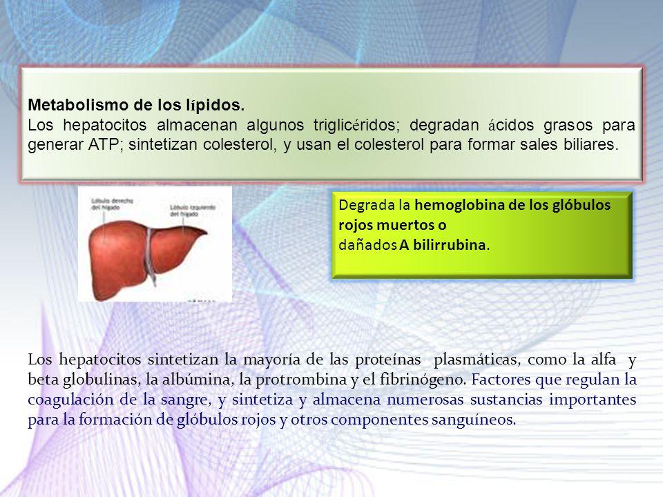 Metabolismo de los lípidos.