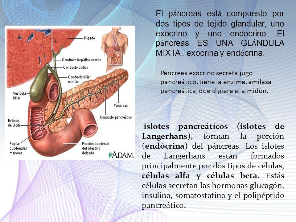 El páncreas está compuesto por dos tipos de tejido glandular, uno exocrino y uno endocrino. El páncreas ES UNA GLÁNDULA MIXTA . exocrina y endócrina.
