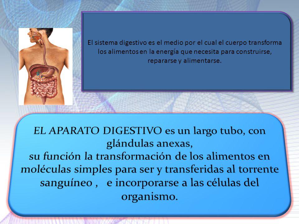 EL APARATO DIGESTIVO es un largo tubo, con glándulas anexas,