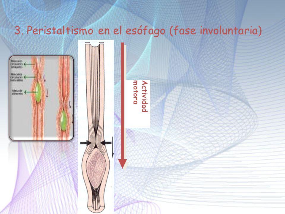 3. Peristaltismo en el esófago (fase involuntaria)