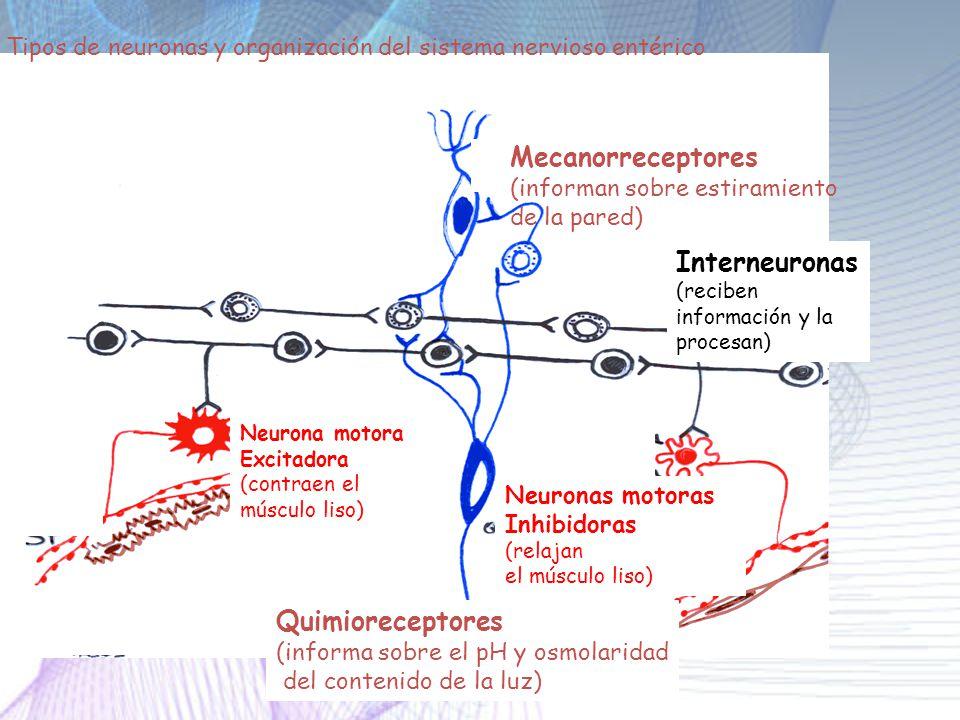 Mecanorreceptores Interneuronas Quimioreceptores