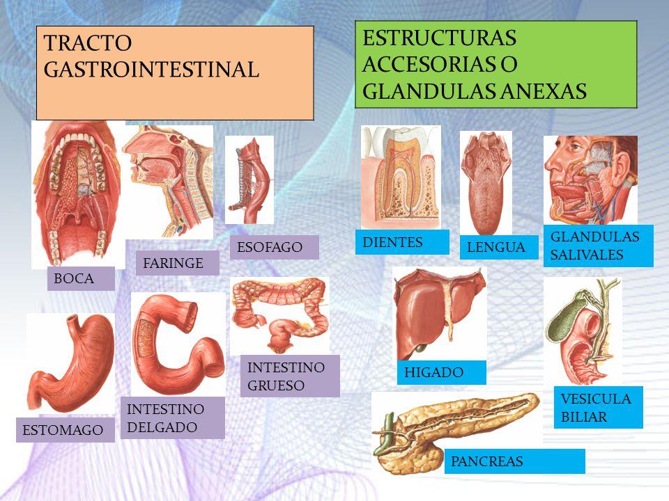 ESTRUCTURAS ACCESORIAS O GLANDULAS ANEXAS TRACTO GASTROINTESTINAL
