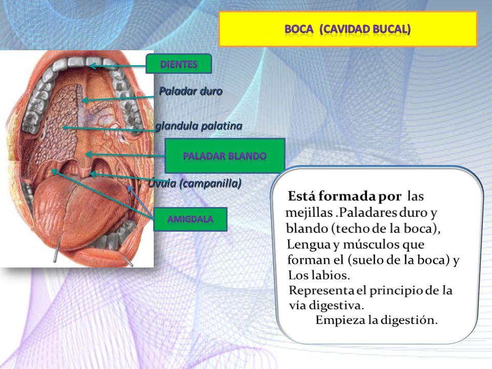 Representa el principio de la vía digestiva. Empieza la digestión.