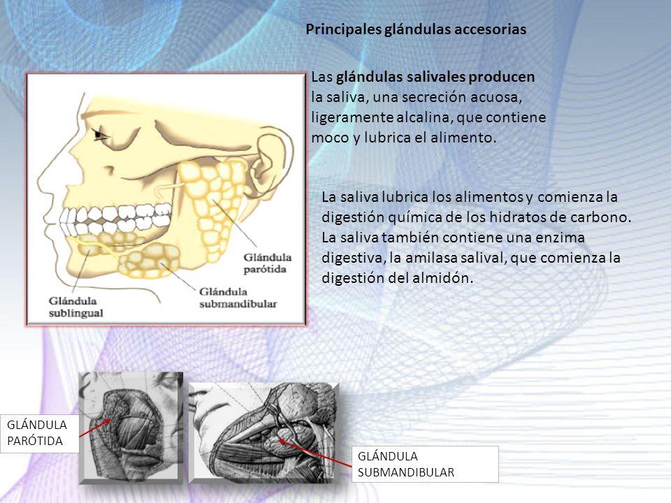 Principales glándulas accesorias