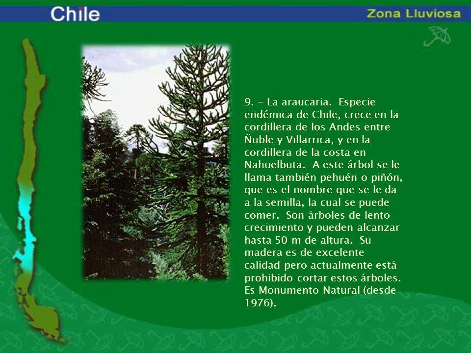 9. - La araucaria. Especie endémica de Chile, crece en la cordillera de los Andes entre Ñuble y Villarrica, y en la cordillera de la costa en Nahuelbuta. A este árbol se le llama también pehuén o piñón, que es el nombre que se le da a la semilla, la cual se puede comer. Son árboles de lento crecimiento y pueden alcanzar hasta 50 m de altura. Su madera es de excelente calidad pero actualmente está prohibido cortar estos árboles.