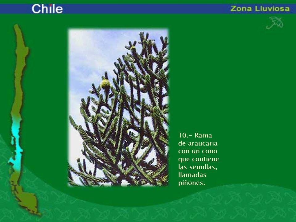 10.- Rama de araucaria con un cono que contiene las semillas, llamadas piñones.