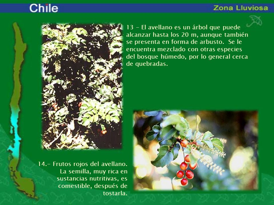 13 - El avellano es un árbol que puede alcanzar hasta los 20 m, aunque también se presenta en forma de arbusto. Se le encuentra mezclado con otras especies del bosque húmedo, por lo general cerca de quebradas.