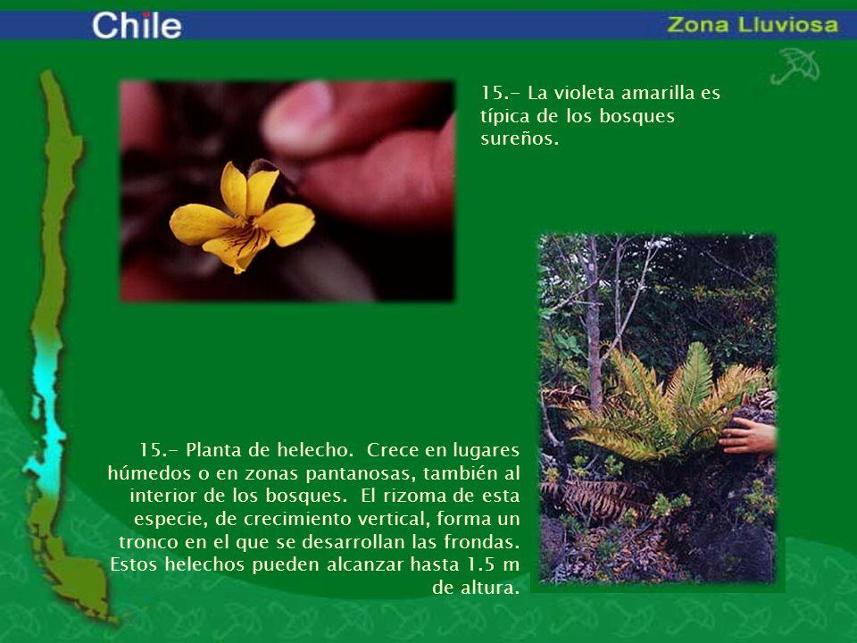 15.- La violeta amarilla es típica de los bosques sureños.