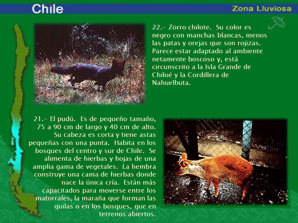 22.- Zorro chilote. Su color es negro con manchas blancas, menos las patas y orejas que son rojizas. Parece estar adaptado al ambiente netamente boscoso y, está circunscrito a la Isla Grande de Chiloé y la Cordillera de Nahuelbuta.