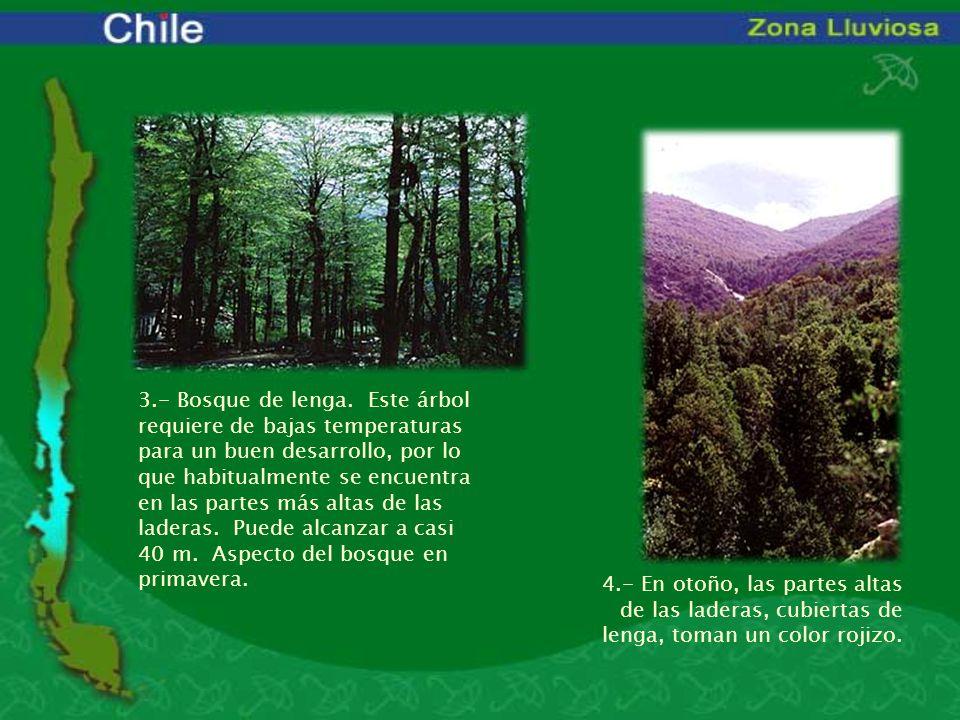 3.- Bosque de lenga. Este árbol requiere de bajas temperaturas para un buen desarrollo, por lo que habitualmente se encuentra en las partes más altas de las laderas. Puede alcanzar a casi 40 m. Aspecto del bosque en primavera.