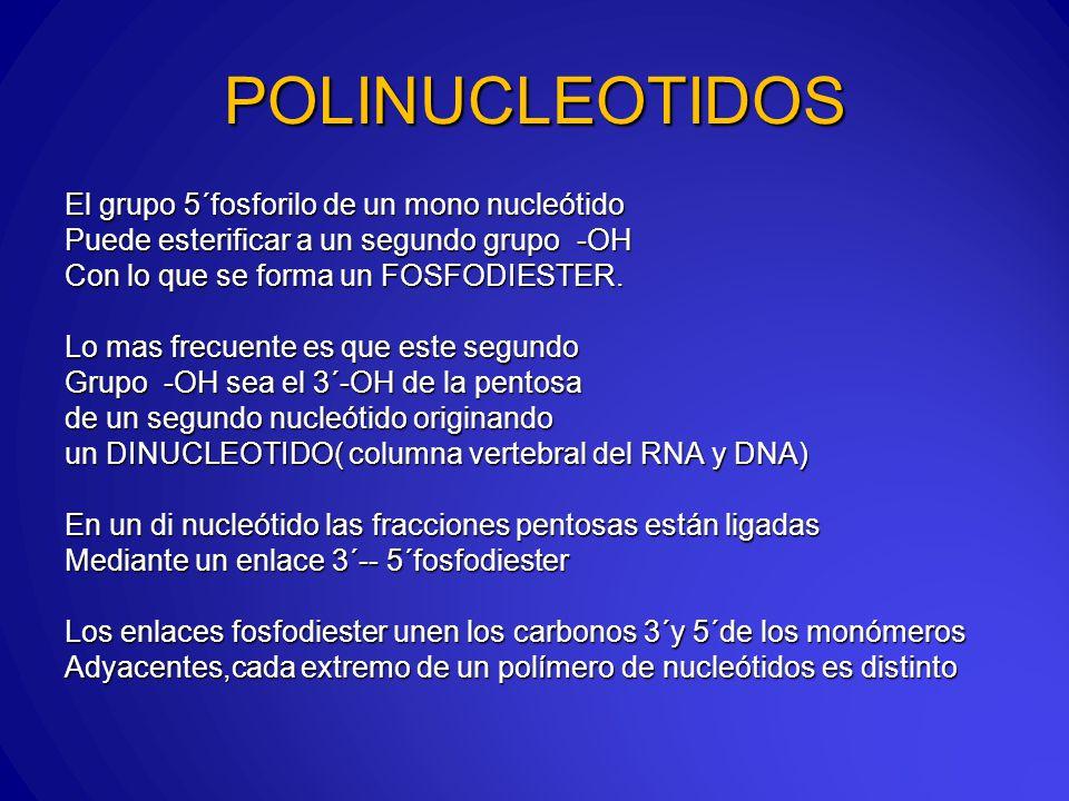 POLINUCLEOTIDOS El grupo 5´fosforilo de un mono nucleótido
