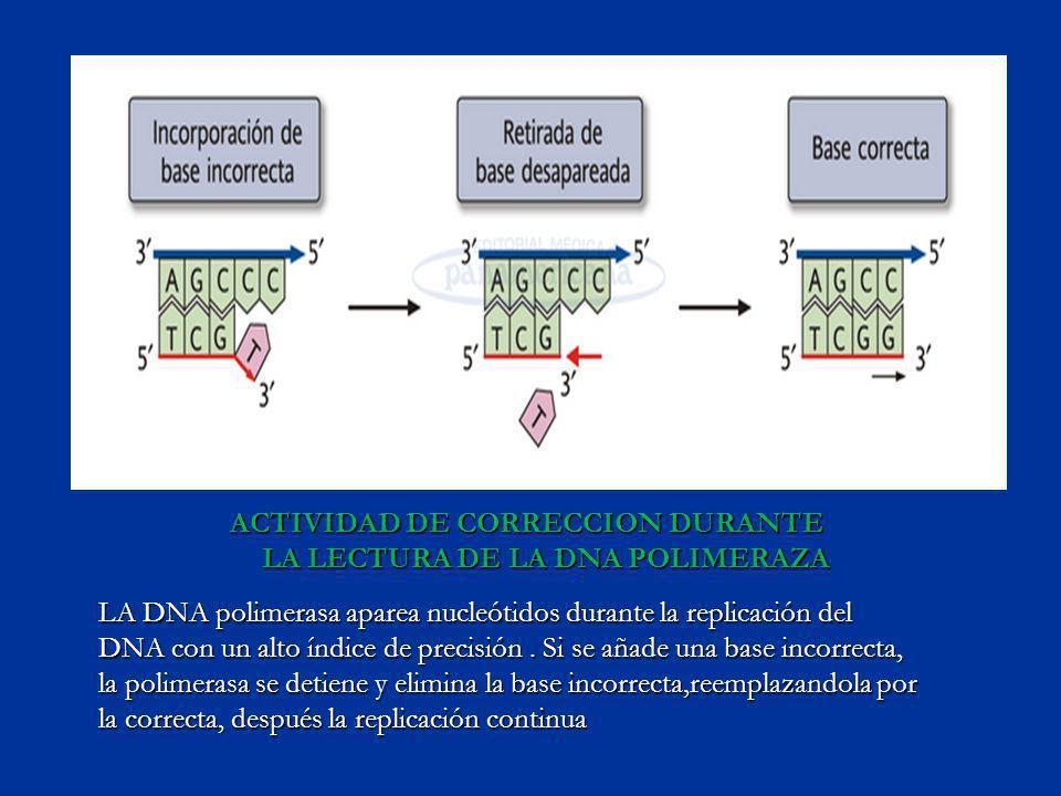 ACTIVIDAD DE CORRECCION DURANTE LA LECTURA DE LA DNA POLIMERAZA