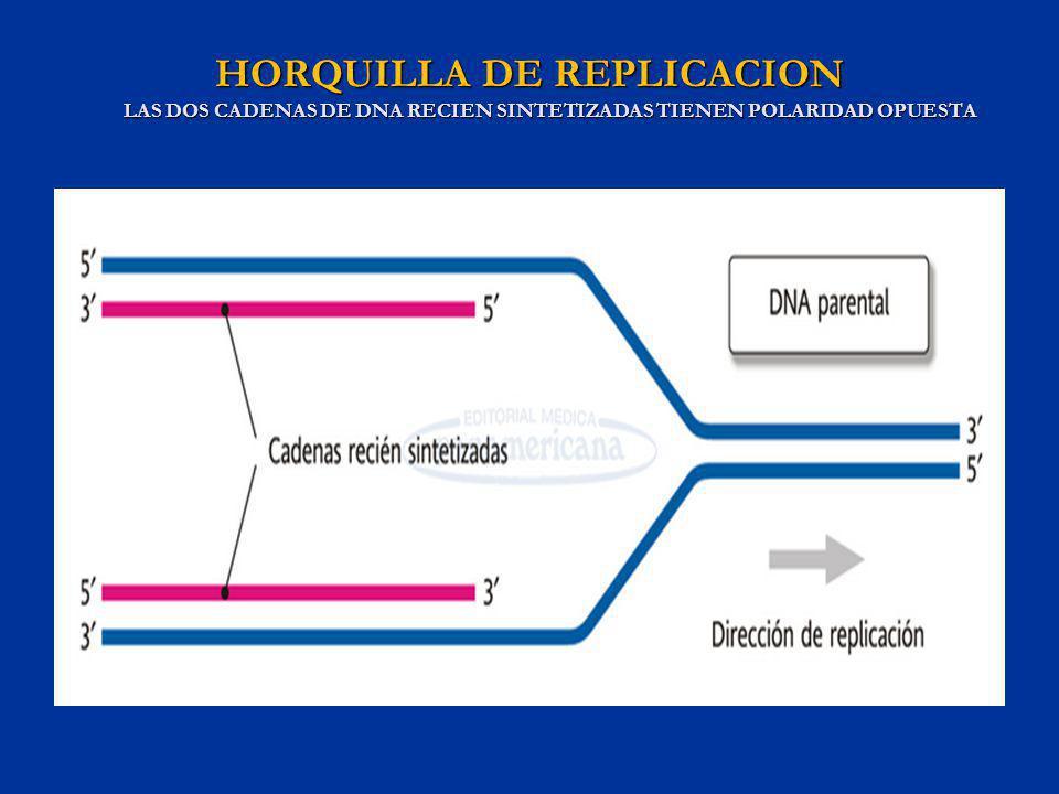 HORQUILLA DE REPLICACION LAS DOS CADENAS DE DNA RECIEN SINTETIZADAS TIENEN POLARIDAD OPUESTA