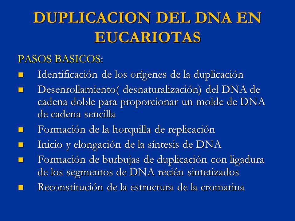 DUPLICACION DEL DNA EN EUCARIOTAS