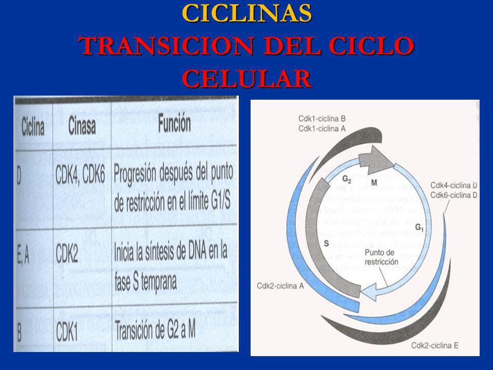 CICLINAS TRANSICION DEL CICLO CELULAR