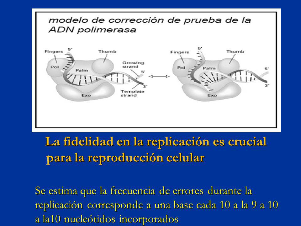 La fidelidad en la replicación es crucial para la reproducción celular