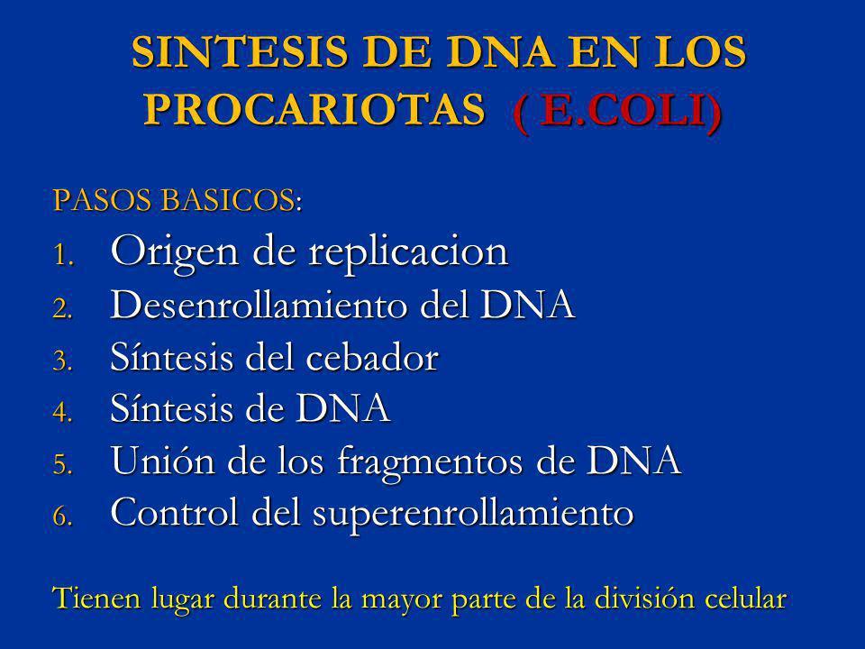 SINTESIS DE DNA EN LOS PROCARIOTAS ( E.COLI)